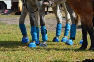 Horse Legs with Blue Bandages